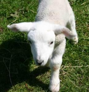 lamb_3411
